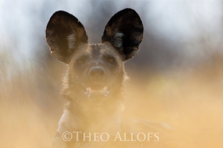 Botswana, Okavango Delta, Moremi; African wild dog (Lycaon pictus)