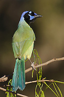 Green Jay (Cyanocorax yncas), adult, Dinero, Lake Corpus Christi, South Texas, USA