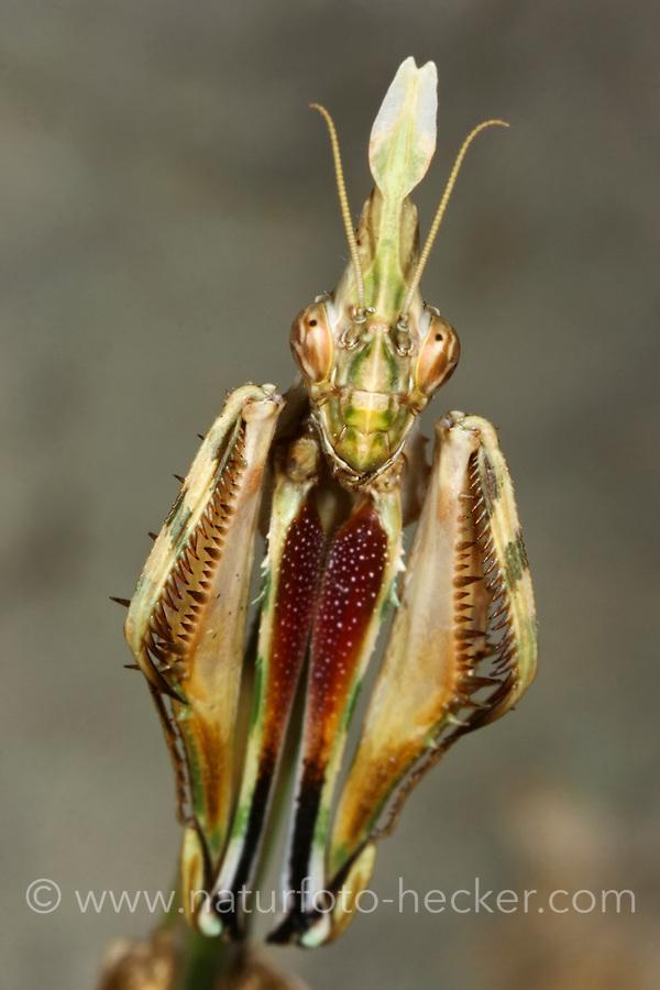 Haubenfangschrecke, Hauben-Fangschrecke, Fangschrecke, Empusa fasciata, conehead mantis, L'Empuse commune, Fangschrecken, Empusidae, Mantodea