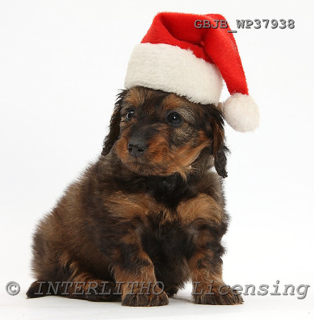 Kim, CHRISTMAS ANIMALS, photos, GBJBWP37938,#XA# stickers