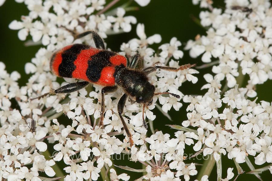 Gewöhnlicher Bienenkäfer, Immenkäfer, Immenwolf, Bienenwolf, Trichodes apiarius, bee beetle, bee wolf, bee-beetle, bee-wolf