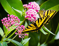 Two Tiger Swallowtail Butterflies (Papilio rutulus) are seen on a milkweed platn (Asclepias syriaca) in a garden.