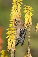 Gila Woodpecker (Melanerpes uropygialis) feeding on nectar from Aloe Vera flowers; Sonoran Desert, Arizona