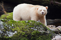 "Kermode ""Spirit"" Bear looking over a mossy rock"