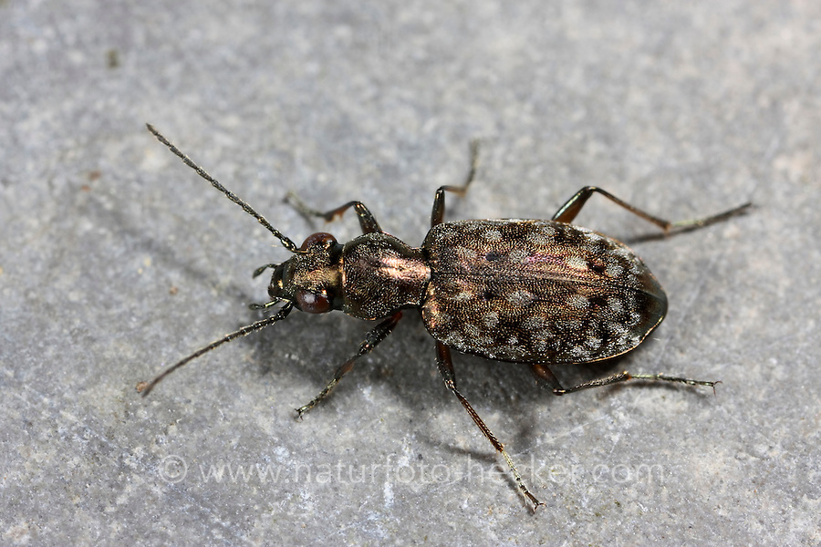 Haarahlenläufer, Haar-Ahlenläufer, Asaphidion caraboides, ground beetle