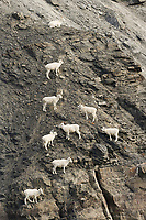 Dall sheep ewes and lambs climb along the rocky cliffs of the Brooks Range, Arctic, Alaska.