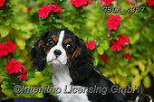 Bob, ANIMALS, REALISTISCHE TIERE, ANIMALES REALISTICOS, dogs, photos+++++,GBLA4357,#a#, EVERYDAY