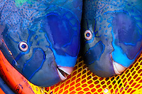These  Spectacled Parrotfish (Scarus perspicillatus) were caught by a spearfisherman on oahu's north shore.  Hawaiian name is Uhu. They are good eating.