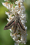 Silver-striped Hawk-moth, Hippotion celerio, resting on buddlehia plant, rare migrant to UK.Europe....