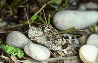 Blauflügelige Ödlandschrecke, Blauflüglige Ödlandschrecke, Paarung, Kopulation, Kopula, Ödland-Schrecke, Oedipoda caerulescens, blue-winged grasshopper, pairing