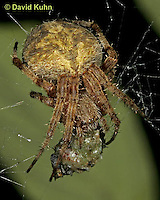 0111-07zz  Arabesque Orbweaver - Neoscona arabesca © David Kuhn/Dwight Kuhn Photography