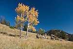 Family group outdoors on a crisp and cool fall morning riding horses on a wrangler-led ride, amid aspen groves high in the Rocky Mountains, near Estes Park, Colorado, USA