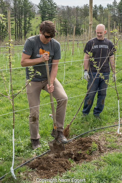 Community Harvest Project - Harvard Apple Orchard - pruning new buds from trees