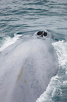 Blue whale Balaenoptera musculus surfacing with wide open blowholes Spitzbergen Barents sea North east Atlantic
