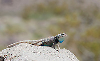 Male Desert spiny lizard, Sceloporus magister, displays the blue markings on its throat. Saline Valley, Death Valley National Park, California