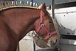 Suffolk Punch horse head close up