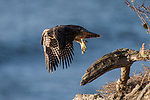 La Jolla, California; a juvenile Peregrine Falcon (Falco peregrinus) spreading its wings and takes flight from a tree branch on a cliff with the Pacific Ocean in the background