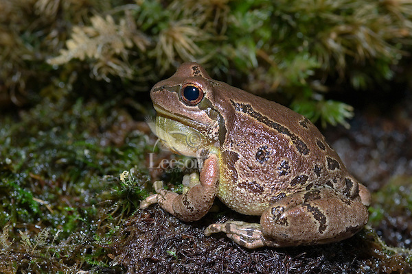 Pacific Tree Frog croaking..Southern British Columbia. Canada..Spring. Hyla regilla.