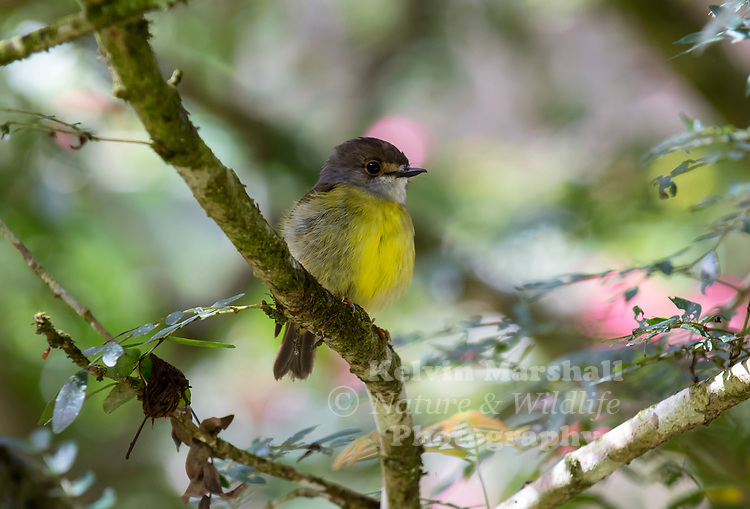 Pale-yellow robin (Tregellasia capito) is a species of passerine bird in the family Petroicidae. It is endemic to eastern Australia. Its natural habitat is subtropical or tropical moist lowland forests. Mossman Gorge National Park - Daintree, Far - North Queensland, Australia.