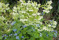 Helleborus foetidus + Brunnera macrophylla, both in bloom in spring, white creamy flowers of hellebore with blue flowers