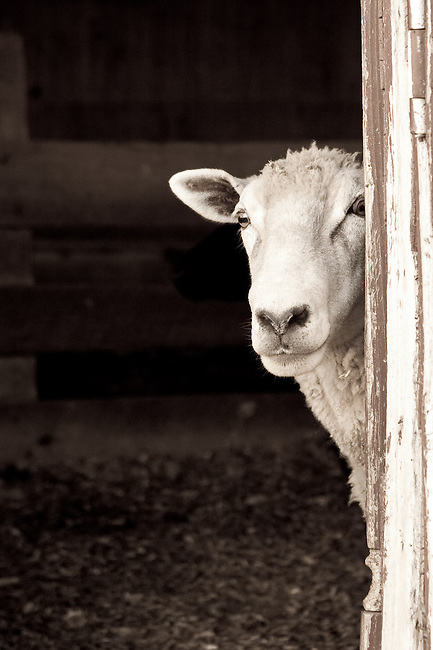Curious sheep peeking out the barn door.
