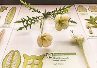Evening Primrose, Oenothera caulis, Glass Flowers Exhibit Harvard Museum of Natural History