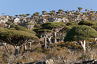 The Dragon Blood Tree Forest near Dixsam, Socotra, Yemen