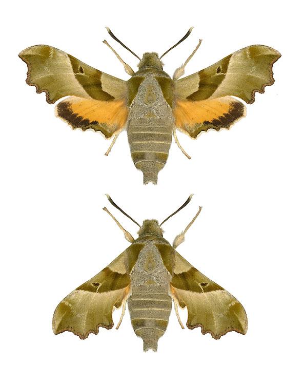 69.012 (1984a)<br /> Willowherb Hawk-moth - Proserpinus proserpina
