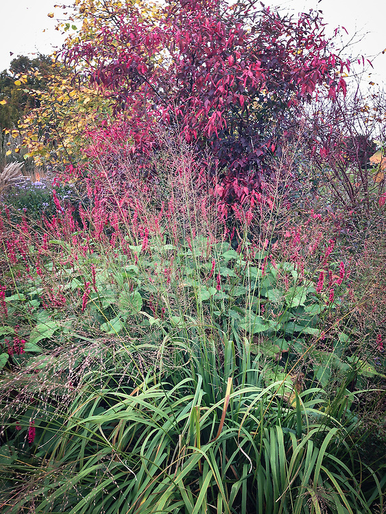 Persicaria, euonymus and grasses at Marchants Hardy Plants, East Sussex, late October.
