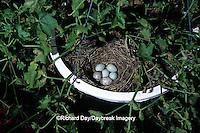 01643-008.18 House Finch nest (Carpodacus mexicanus)  with 4 host & 2 cowbird eggs in flower pot   IL