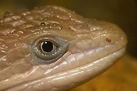 Texas Alligator Lizard, Gerrhonotus liocephalus