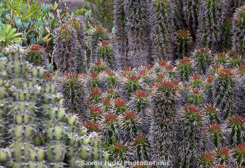Euphorbia horrida, African Milk Barrel, in South African section of University of California Berkeley Botanical Garden