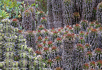 Euphorbia horrida, African Milk Barrel, in South African section of University of California Berkeley Botanical Garden
