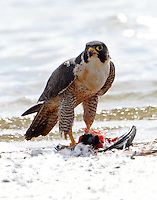 Adult peregrine falcon with prey