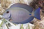 Acanthurus chirurgus, Doctorfish, Florida Keys, Florida Keys