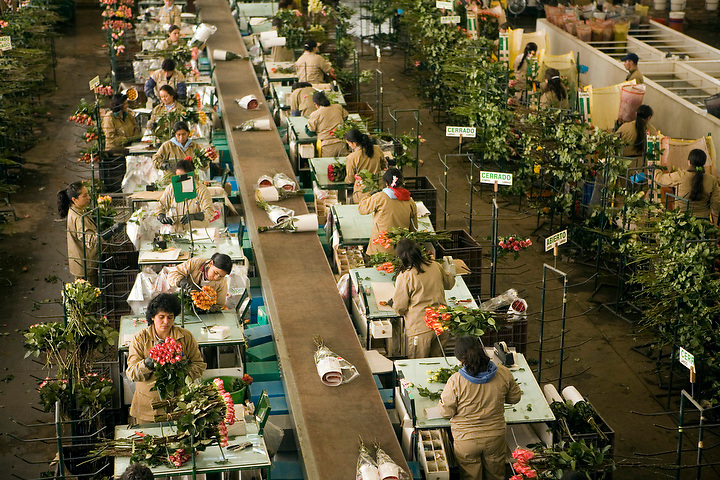 BOGOTA, COLOMBIA -- JANUARY 21:  Workers sort, cut and arrange roses in the grading shed at Alpes Flowers before shipping them to the US on January 21, 2007. ..(Photo by Dennis Drenner/Aurora).