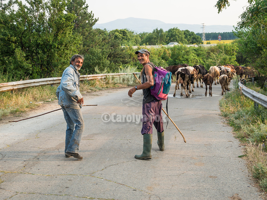 Cattle herders smile as the are crossing a bridge with their stock, Davovo, Bulgaria