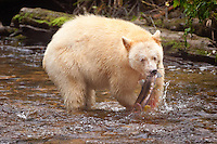"Kermode ""Spirit"" Bear catching a Pink Salmon"