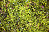 An inch-thick blanket of algae covers the sand at the Shilaoren Beach in Qingdao, Shandong, China...Qingdao is the host of the sailing events for the 2008 Summer Olympics. Algae blooms like this have become common in inland lakes in China, often caused by high pollution in bodies of water.  The city is asking for help and forcing residents to take part in the cleanup effort before the Olympic events..