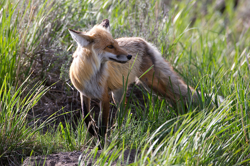 This red fox (Vulpes vulpes) has a family to feed and with a last glace towards the kits, sets off to hunt.
