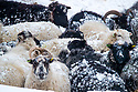 02/03/18<br /> <br /> Sheep huddle together in Sparrowpit near Buxton in the Derbyshire Peak District.<br />   <br /> All Rights Reserved F Stop Press Ltd. +44 (0)1335 344240 +44 (0)7765 242650  www.fstoppress.com