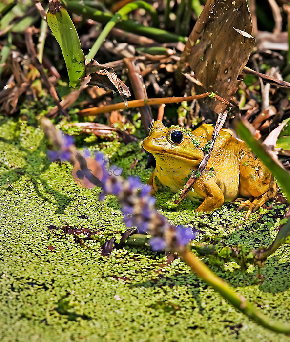 A pigfrog sitting in duckweed in Everglades, Florida