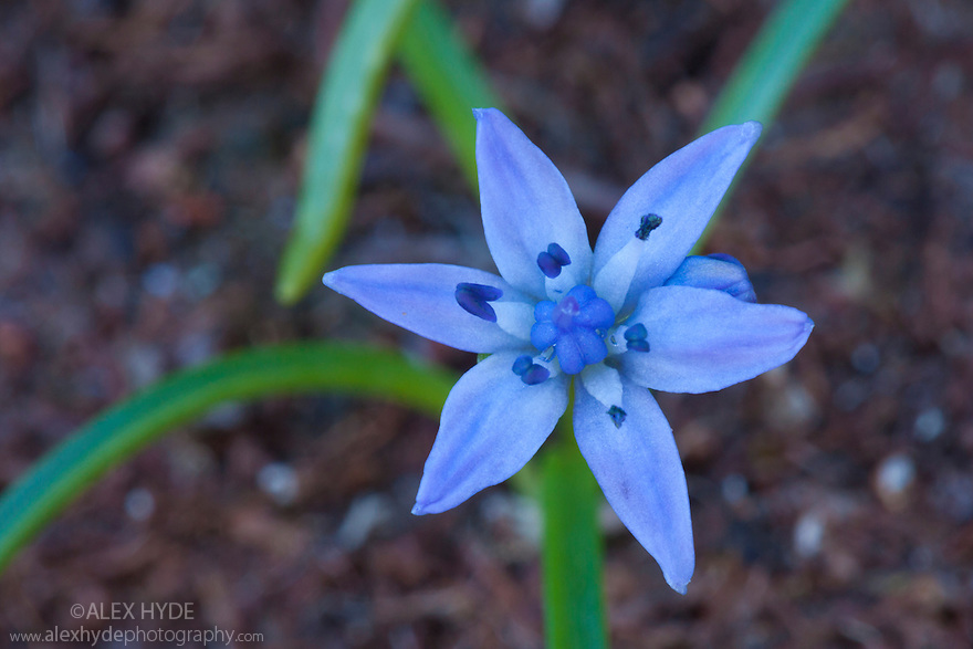 Spring Squill (Scilla verna) in flower on cliff top. Iona, Isle of Mull, Scotland, UK. June.