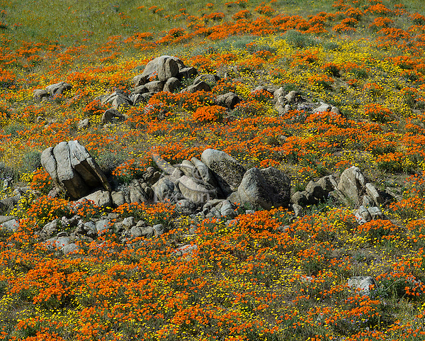 Wildflowers--mostly California poppies and goldfields--cover hillside near the Antelope Valley California Poppy Reserve.  March.