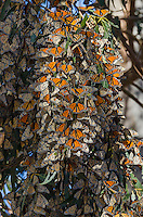 Western Monarch Butterflies (Danaus plexippus) in wintering cluster, coastal California.  Many are opening their wings to gather warmth from a shaft of sunlight coming thru the trees.  Monarch butterflies cannot fly if their body temperature is less than 86 degrees.  We generally assume that monarchs can fly if it is above 60 degrees F, and above 50 degrees if it is sunny. The sun allows them to warm their flight muscles enough to fly.