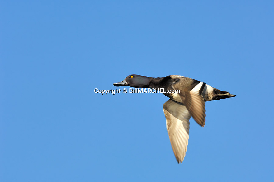 00342-011.14 Lesser Scaup (DIGITAL) male, drake in flight against a blue sky.  Fly, action, bluebill, hunt, waterfowl.  H4L1