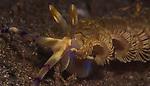 Aeolid nudibranch, Blue Dragon, Indonesia, Lembeh, Pteraeolidia ianthina, underwater marine life