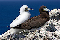 Brown Booby Bird with young on nest in Cayman Brac, Cayman Island