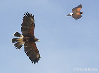 0405-1201  Pair in Flight, Harris's Hawk, Harris Hawk (Bay-winged Hawk or Dusky Hawk), Parabuteo unicinctus  © David Kuhn/Dwight Kuhn Photography