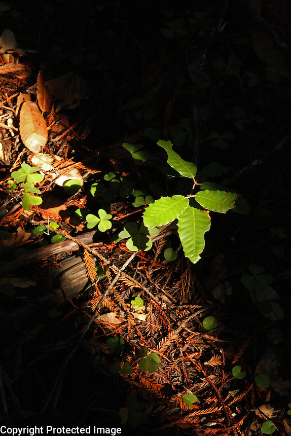 A shaft of light highlights/illuminates the green live oak and redwood sorrel growing among the dry, brown leaves on the forest floor of Montgomery Woods above Ukiah in Mendocino County in Northern California.